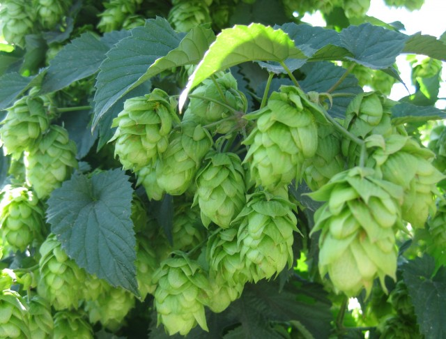 Hops-on-the-Bine